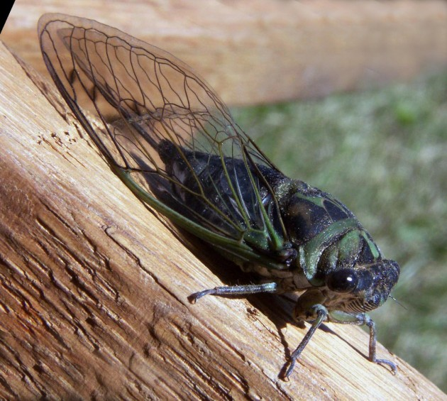 Cicada preparedness is everyone's responsibility